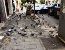 Riso ai piccioni, prassi quotidiana