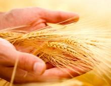 CONTRIBUTI / Consumatori, il grano italiano è una chimera