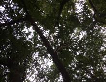 Gli alberi di piazza Vittorio, Villa Celimontana e Parco degli Scipioni