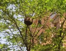 Via Vetulonia: sciame d'api appeso ad un albero