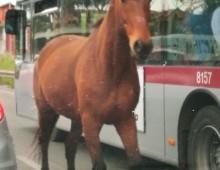Via Appia: il cavallo mette la freccia e supera l'autobus