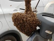 Piazza Ragusa: alveare sullo scooter, i vigili salvano le api