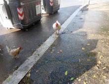 Via Grottaferrata: galline a spasso tra i cassonetti