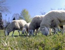 Parco degli Acquedotti: arrivano le pecore giardiniere