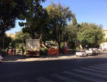 Piazza Re di Roma: crolla un altro pino secolare