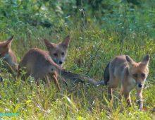 Le famiglia di volpi cresce in Caffarella, un parco simbolo di rinascita