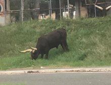 Via Appia Nuova: un toro maremmano al pascolo