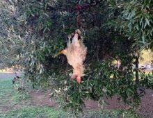 Caffarella: gallina legata e appesa nel parco dei bambini